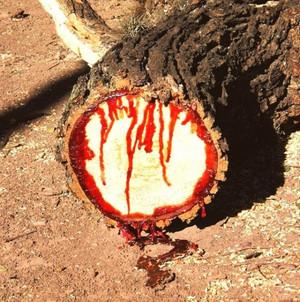 Karapaia_bloodwood_tree_42e507fa