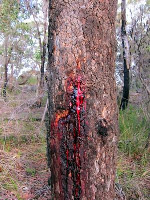 Karapaia_bloodwood_tree_e6426747